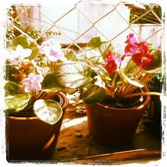 Da janela lateral.... (Joana Joaninha) Tags: amor joanajoaninha flickrandroidapp:filter=none janelavioletas