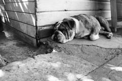 (alterna ►) Tags: chile dog animal foto otros perro etc natalia boba fotografia nati mascota diverso caceres guau alterna identidad wii alternativa creaciones bulldogingles alternanati superboba alternaboba