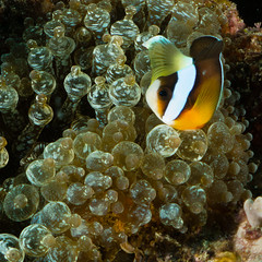 Kad North Clown Crop (troy_williams) Tags: ocean red sea coral japan canon marker scubadiving okinawa 沖縄 reef channel underwaterphotography inon g15 troywilliams kadenanorth uwls100zm80