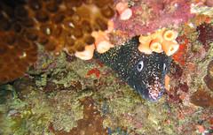 Moréia na Toca (Carlos Costabile) Tags: sea fish beach island mar turtle mergulho dive crab tortuga tartaruga moray peixes arraialdocabo tartarugamarinha moréia nudibrânquio carloscostabile