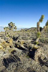 Knocked over Joshua Trees, Mount Charleston (dkjphoto) Tags: wild cactus usa mountain plant ski west tree america landscape scenery unitedstates desert lasvegas joshua destruction nevada joshuatree peak hike charleston trail northamerica environment recreation wilderness mtcharleston yucca rugged yuccabrevifolia mountcharleston springmountains charlestonpeak yuccapalm denniskjohnson