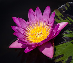 Pond Beauty (tresed47) Tags: 2016 201607jul 20160711longwoodflowers canon7d chestercounty content flowers folder lily longwoodgardens pennsylvania peterscamera petersphotos places takenby us waterlily