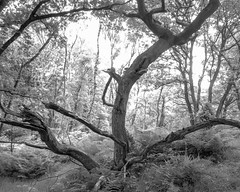 Distorted oak with living and dead trunks (Hyons Wood) (Jonathan Carr) Tags: bw white abstract black tree monochrome rural landscape oak distorted 4x5 abstraction trunks northeast largeformat toyo 5x4 ancientwoodland rolleirpx25 hyonswood