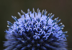 purple explosion (kimbenson45) Tags: closeup differentialfocus flower globe macro nature plant purple round shallowdepthoffield spikes spiky thistle echinops