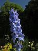 Alpine Delphinium (aniko e) Tags: ranunculaceae ranunculales öbz munich delphinium delphiniumelatum rittersporn hoherrittersporn sarkantyúfű nyúlánksarkantyúfű flower blue garden summer cultivar