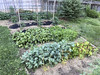mid summer garden (woodleywonderworks) Tags: backyard garden green vegetable potatoes beets carrots kale radish neighbors tomatoes organic victory summer spring dirt fertile sun shade tips beautiful therapy mental hobby pest