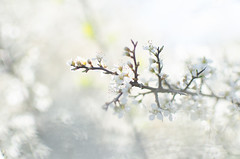 White flowers (- m i l i e d e l -) Tags: 2016 april avril emiliedelmond france lubron miliedel photographe photographer photography adventure explore nikon nikonfr photo printemps somewhere spring wander