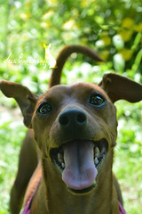 Smile! (My Life With Lola) Tags: dog miniature pinscher min pin nikon d3200 photography canine outdoors smile