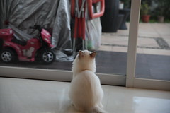 201608022-008 (Snowy Olaf) Tags: kitten britishlonghair       feliscatus  canon 5dmarkiii tamron 2470mm f28 a007