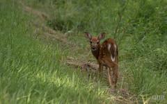DSC_7687 (Keztik) Tags: nikon dslr reflex d3200 canada qubec sherbrooke chevreuil deer daim fawn small petit