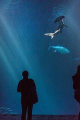 Monterey Bay (arterial spray) Tags: 2016 aquarium california dalliswillard fish ocean salt water montereybayaquarium montereybay