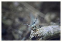 V (s1nano) Tags: nikontc200 tamron90mmspmacrof25 butterfly lepidoptera insect bug bokeh dof nature macro macrodreams nikond7000