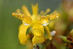 Guck mir in die Augen (DianaFE) Tags: dianafe blume pflanze tiefenschrfe schrfentiefe makro freihandmakro tropfen regen johanniskraut