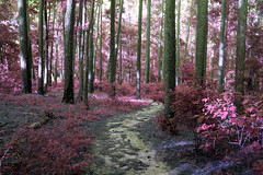 These days are numbered (someoneandthewhale) Tags: forest pink purple magenta plants fantasy unreal road lake trail exploring adventure other planet methane