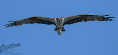 Osprey incoming 8_22 (krisinct- Thanks for 12 Million views!) Tags: nikon d500 500 f4 vrg