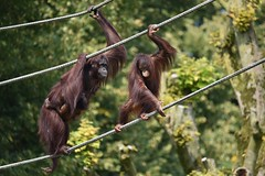 Just hanging around (Pics4life.nl) Tags: zoo oerangoetang moeder kinderen klimmen dierentuin apen nature animal