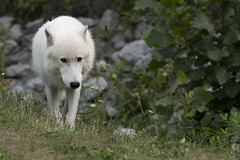 Arctic Wolf 46 (cypher40k Photography) Tags: color colour nikon arcticwolf wolf arctic toronto torontozoo zoo