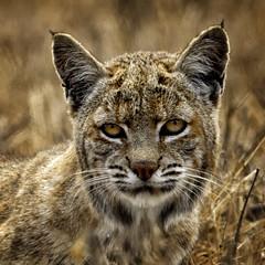 Magic Hour Bobcat (lennycarl08) Tags: bobcat pointreyesnationalseashore ptreyes wildcat california northerncalifornia marincounty goldengatenationalrecreationarea animalplanet