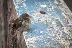 One of Darwin's finches.