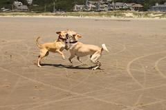 IMG_9339 (OryGonian) Tags: ocean 2016 july beach manzanita ripken sophie dogs action