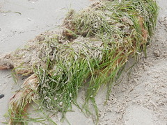 Seagrass and Sand (mikecogh) Tags: henleybeach sand seagrass storm uprooted plant clump