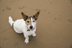 Wind! (Naiade Photography) Tags: 2016 estate francia pinkladiesintour stagioni summer france beach spiaggia sand sabbia wind vento rizzo jackrussell terrier dog