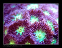 blastomussa8186_090916 (kactusficus) Tags: reef aquarium captive fauna fish coral récifal blastomussa merletti