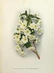n62_w1150 (BioDivLibrary) Tags: fruitculture newyorkstate prunuscerasus rosaceae newyorkbotanicalgardenluesthertmertzlibrary bhl:page=6536950 dc:identifier=httpbiodiversitylibraryorgpage6536950 prunusaviumxprunuscerasusreinehortense