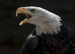 Eagle's Cry (Nigel_Harrison) Tags: birdsofprey birdofprey raptor talons feathers falcons eagles baldeagle americanbaldeagle fisheagle