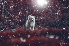 Milo | Red Riding Hood I (Dreamly by Sven Trzcinski) Tags: dog cute art sweet pomeranian pomeran zwergspitz love puppy red grimm dreamly color colorful