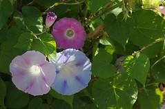 Purpur-Prunkwinde (Ipomoea purpurea); Bergenhusen, Stapelholm (11) (Chironius) Tags: stapelholm bergenhusen schleswigholstein deutschland germany allemagne alemania germania    ogie pomie szlezwigholsztyn niemcy pomienie blte blossom flower fleur flor fiore blten    asterids campanuliids solanales nachtschattenartige convolvulaceae windengewchse ipomoea prunkwinde blau rosa