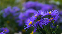 Through Elements (Jazhio) Tags: flower flowers purple blue nature green life