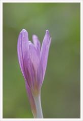 Fiore 209 (Outlaw Pete 65) Tags: macro closeup fiore flower natura nature colori colours rosa pink verde green nikond600 sigma105mm brescia lombardia italia