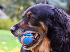 Baxter (Jane Olsen ( Chardonnay)) Tags: dog ball fur outdoors calgary animal pet outdoor
