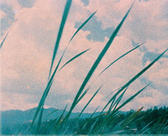 Wild grass (kevin dooley) Tags: eximus ultrawide xpro film lomo lomography crossprocessed wild grass prescott