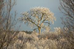 Winter Trees (peet-astn) Tags: winter tree frost frosty 121212