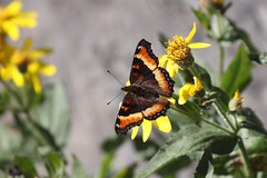 Milbert's tortoiseshell butterfly (Alan Vernon.) Tags: park wild orange brown mountains nature butterfly insect rockies fire wings montana wildlife rocky glacier national np rim aglais nymphalis milberti totoiseshell copyright firerim alanvernon 2012alanvernon