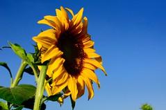 DSC_2990_3971 (o331128) Tags: flowers plants nature beauty landscape photography nikon scenery taiwan bluesky sunflower dslr 台灣 自然 植物 向日葵 tainancity 花海 晴天 d90 helianthusannuus 台南市 3518g 新市區