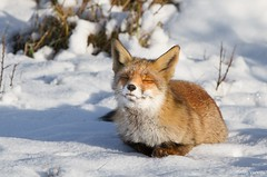 Dreaming ... Explore ... ( Thanks...Now over the 500.000 views on Flickr...) (Alex Verweij) Tags: winter wild snow nature canon sneeuw natuur dreaming fox 7d vos dromen alexverweij
