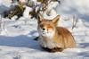 Dreaming ... Explore ... ( Thanks...Now over the 500.000 views on Flickr...) (Alex Verweij) Tags: winter wild snow nature canon sneeuw natuur dreaming fox 7d vos dromen alexverweij