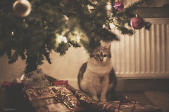 pruttel under the christmas tree (moggierocket) Tags: christmas cat lights christmastree presents underthechristmastree thecatwhoturnedonandoff gettylicensed ldlportraits highqualityanimals