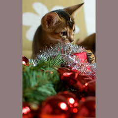 X-mas 6 (peter_hasselbom) Tags: christmas xmas red cats glitter cat 50mm kitten flash kittens parcels yule parcel abyssinian merrychristmas 10weeksold 1flash