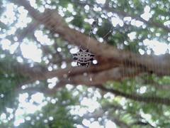 Spider Bokeh (Haydelis) Tags: naturaleza nature spider bokeh samsung araña 2012 week51 weekofdecember16 522012 52weeksthe2012edition