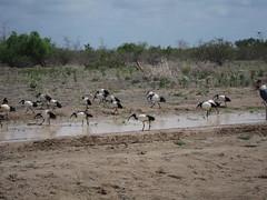 Anglų lietuvių žodynas. Žodis genus threskiornis reiškia genties threskiornis lietuviškai.