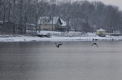 A Pair of Mallard Ducks Flying, Taken on December 25th, 2012... (SevenSixx) Tags: christmas houses 2 white lake snow color canon silver lens geese nice december different with bright pennsylvania mark taken ducks using pa telephoto pines ii covered blanket 5d 25th 28135mm 2012 aframe meade lenses a 75mm300mm ~sevensix~