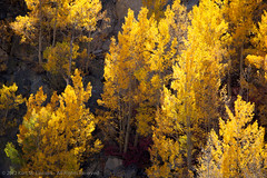 Backlit Aspen Hillside (Kurt Lawson) Tags: california autumn red mountains fall yellow backlight clouds gold rocks sierra aspens sierras aspen sierranevada eastern quaking easternsierras