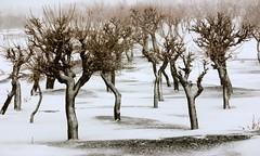 (Reza-ir) Tags: snow tree nature iran ايران درخت برف طبيعت زمستان supershot خراسانرضوي khorasanraszavi