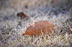 The frozen leaf (marin gusky) Tags: winter leaf freeze