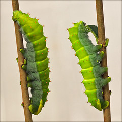 Rothschildia Moth Caterpillars (Foto Martien (thanks for over 2.000.000 views)) Tags: holland colour macro netherlands beautiful dutch butterfly colorfull sony moth nederland caterpillar papillon tropical falter mariposa coloured geotag slt veluwe rups farfalla chenille schmetterling mot vlinder mite kleurrijk bruco a77 macrophoto raupe butterflyhouse kleuren oruga polychrome geotagging butterflygarden bont tropisch harskamp motte veelkleurig macrofoto vlindertuin kleurig macroopname zorgboerderij vlinderkas vlinderkwekerij passiflorahoeve martienuiterweerd martienarnhem mygearandme mygearandmepremium minoltamacro100mm28mm mygearandmebronze mygearandmesilver mygearandmegold mygearandmeplatinum fotomartien photographyforrecreationeliteclub slta77v a77v sonyalpha77 geotaggedwithgps