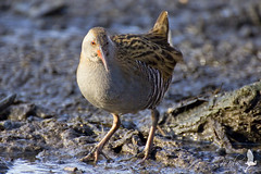 Rallus aquaticus (_milo_) Tags: italy bird canon eos italia bokeh tamron oiseau uccello birdwatcher oasi 70300 angera fango rallusaquaticus 60d porciglione bruschera